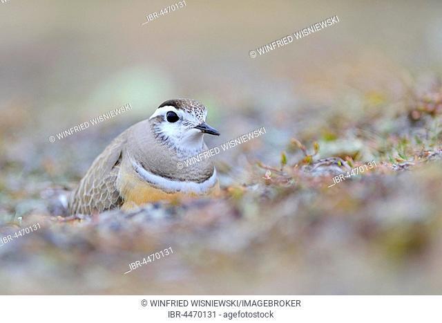 Eurasian dotterel (Eudromias morinellus), male in nest, breeding, Varanger, Norway