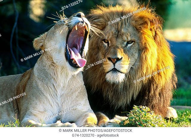 African Lion and Lioness Yawning Zoo Captive