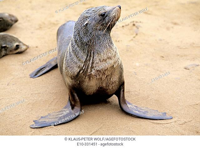 Cape Fur Seals (Arctocephalus pusillus). Cape Cross. Namibia