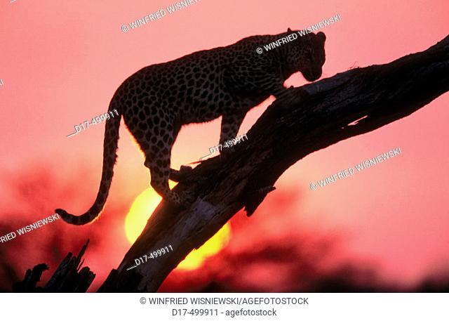 Leopard (Panthera pardus). Masai Mara. Kenya