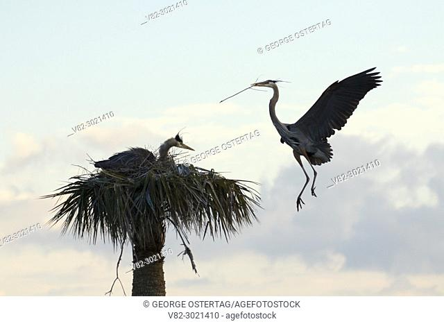 Great blue heron (Ardea herodias) nest, Ritch Grissom Memorial Wetlands at Viera, Florida