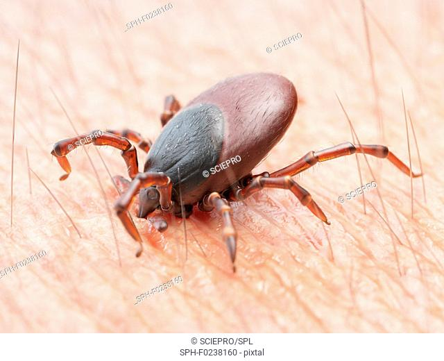 Illustration of a tick biting human skin