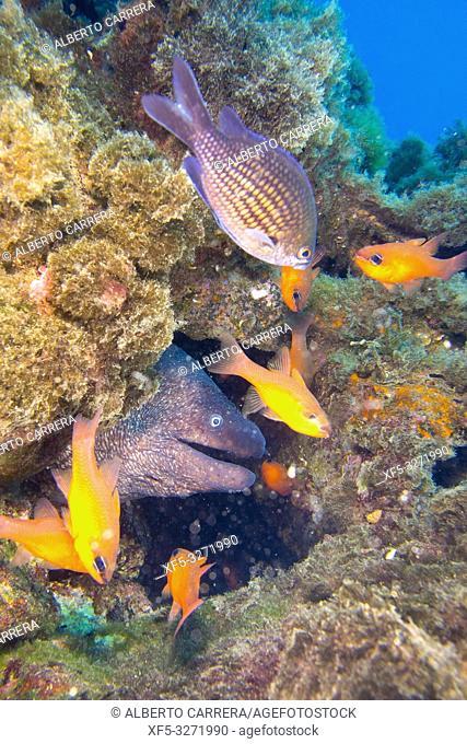 Moray Eel, Muraena helena, Cabo Cope-Puntas del Calnegre Natural Park,Mediterranean Sea, Region de Murcia, Murcia, Spain, Europe