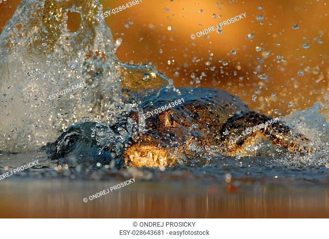 Crocodile Yacare Caiman, in the water with evening sun