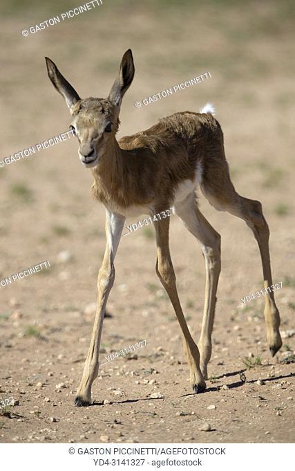 Springbok (Antidorcas marsupialis) - Lamb, hiding for predators, Kgalagadi Transfrontier Park in rainy season, Kalahari Desert, South Africa/Botswana