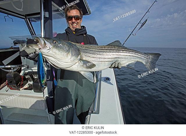Fisherman holding a fresh caught Striped Bass; Cape Cod, Massachusetts, United States of America