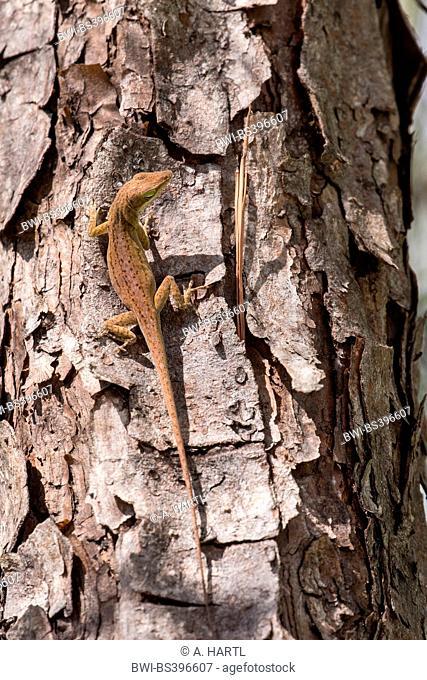 green anole (Anolis carolinensis), female at a tree trunk, USA, Florida, Kissimmee