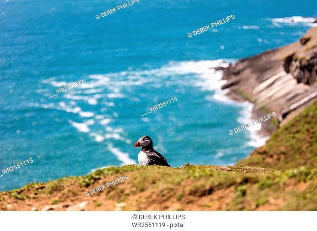 Puffin on Skomer Island, Pembrokeshire, Wales, United Kingdom, Europe