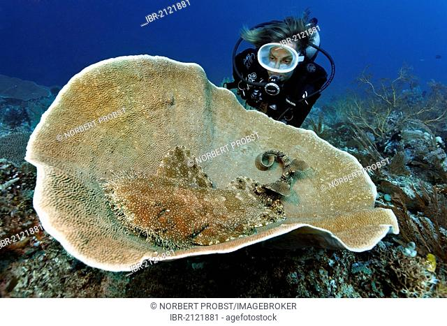 Scuba diver watching a Tasseled Wobbegong (Eucrossorhinus dasypogon) in Platform Coral (Coscinarea macneilli), coral reef, Great Barrier Reef