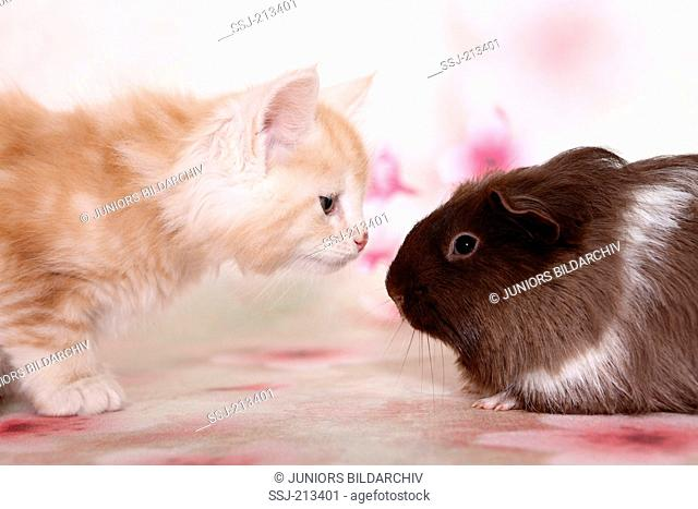 American Longhair, Maine Coon and Long-haired Guinea Pig. Kitten and cavy nose-to-nose Germany
