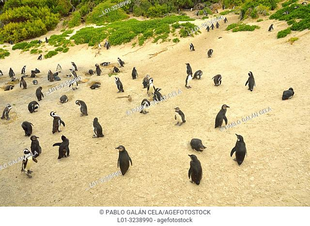 African penguin colony (Spheniscus demersus), near Cape Town, South Africa