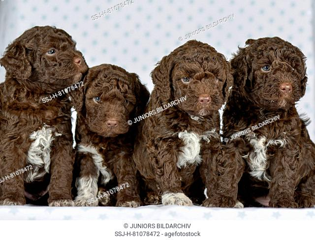 Lagotto Romagnolo. Four puppies (5 weeks old) sitting next to each other. Studio picture. Germany