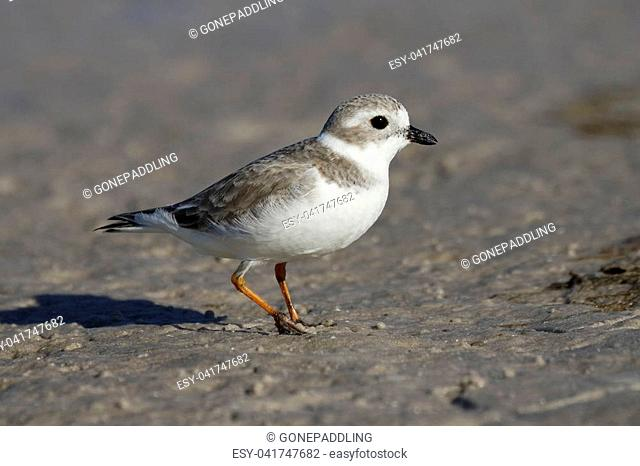 Piping Plover (Charadrius melodus) in non-breeding plumage foraging on a mud flat - Pinellas County, Florida