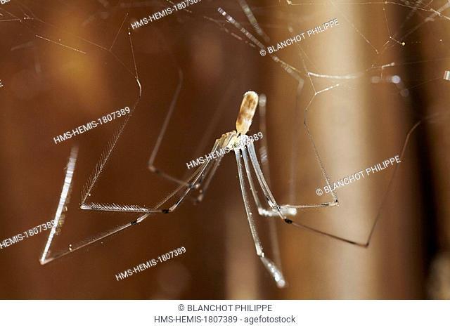 France, Pyrenees Atlantiques, Araneae, Pholcidae, Daddy longlegs (Pholcus phalangioides) on its web