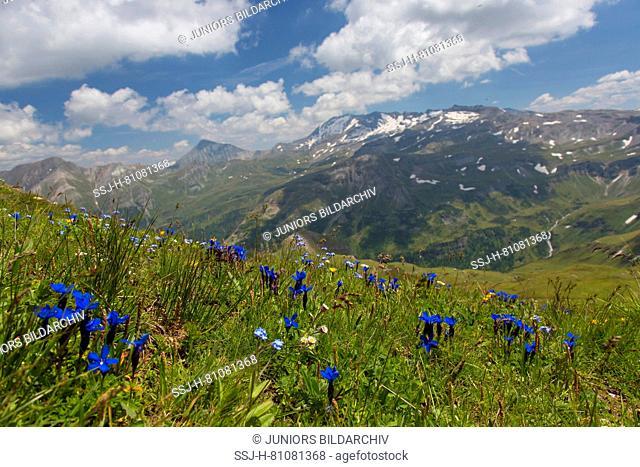 Bavarian Gentian (Gentiana bavarica). Flowering plants at Hohe Tauern National Park, Carinthia, Austria