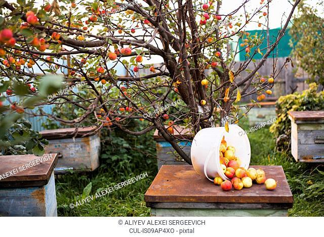 Apples on top of hive in orchard, Sarsy village, Sverdlovsk Region, Russia