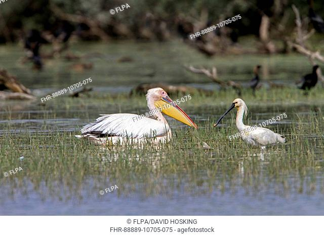 White Pelican with Spoonbill at Lake Kerkini Northern Greece