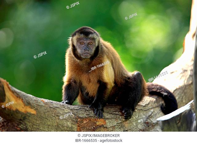 Wedge-capped Capuchin (Cebus nigrivittatus), adult on a tree, South America