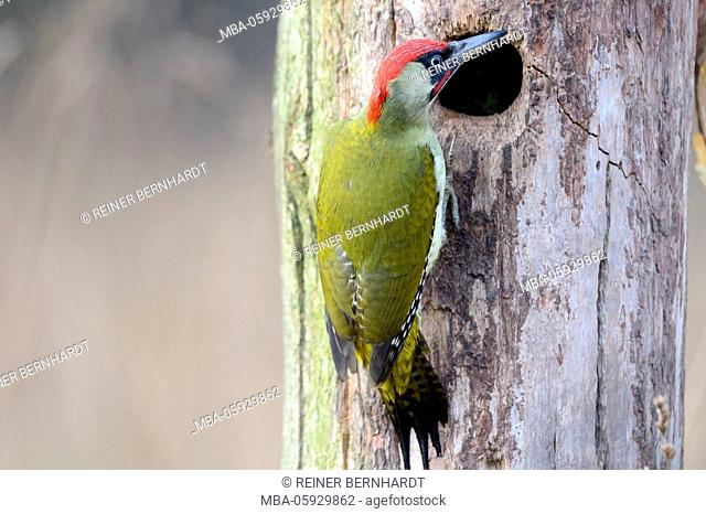 Tree, detail, green woodpecker, Picus viridis