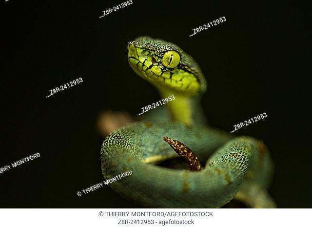 Bothriopsis bilineata. New born Green jararaca. Tree Viperid. Venomous Snake (solenoglyph) mostly nocturnal. Behaviour varies according to the specimen