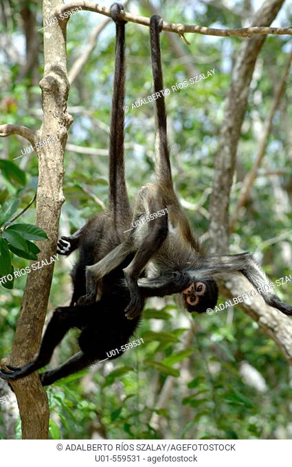 Black handed Spider Monkeys (Ateles geoffroyi), Mexico