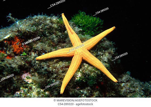 Smooth Starfish (Hacelia attenuata)