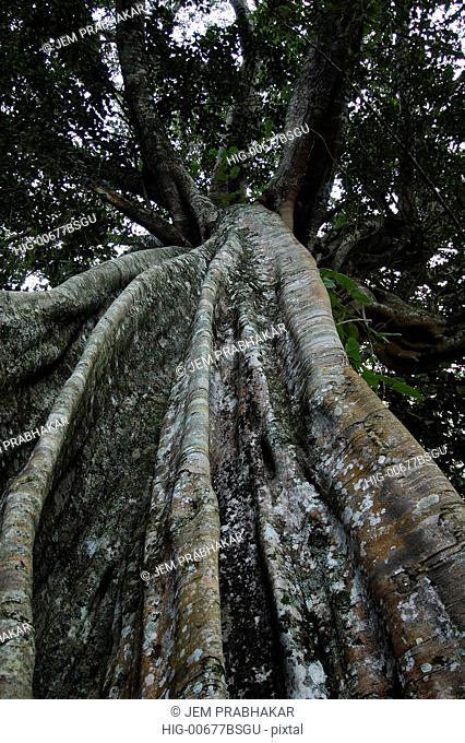 A TALL TREE IN THEKKADY, KERALA, INDIA