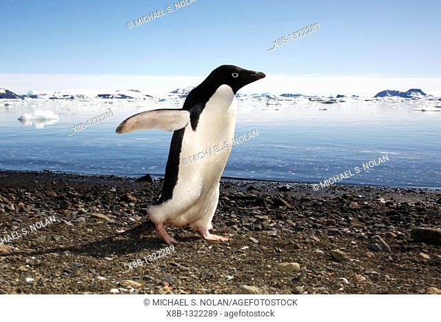 Adult Adelie penguin Pygoscelis adeliae marching down the beach and preparing to enter the ocean on Devil Island, Antarctic Peninsula  Adelie penguins are truly...