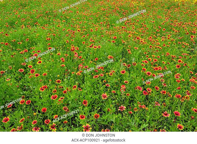 Late spring wildflower display featuring firewheel, Johnson City, Texas, USA