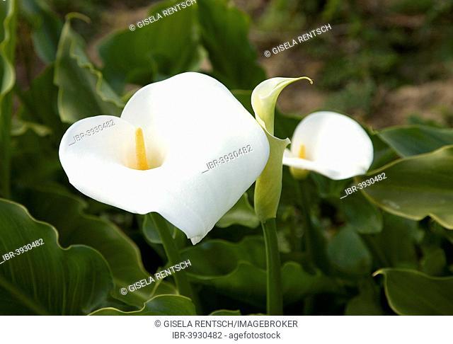 Calla lily (Zantedeschia aethiopica), Algarve, Portugal