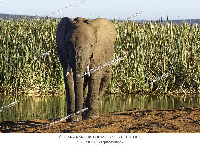 African bush elephant (Loxodonta africana), young male, walking from a waterhole, Addo Elephant National Park, Eastern Cape, South Africa, Africa