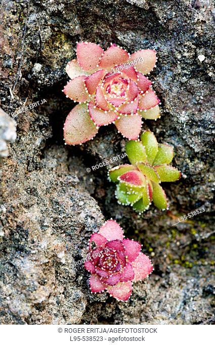 Saucer plant (Aeonium glandulosum), Madeira, Portugal