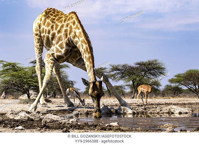 Giraffe drinking at waterhole - Onkolo Hide, Onguma Game Reserve, Namibia, Africa