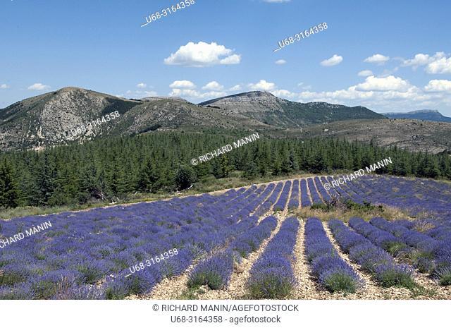 France, Auvergne-Rhône-Alpes, Drome (26), Ferrassières, lavender fields