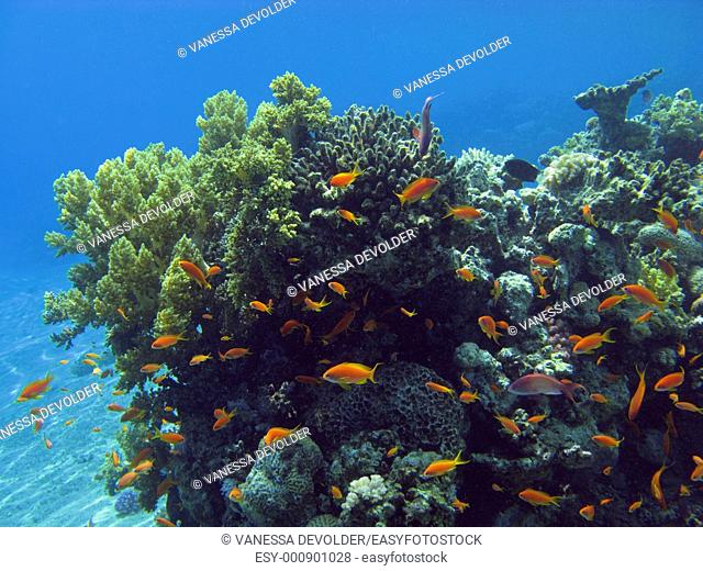 Coral reef in the Red Sea  Egypt  V9EG1103