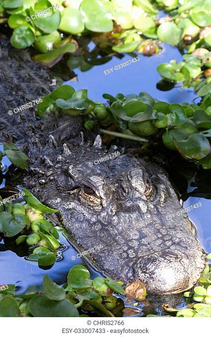 Alligator (Alligator Mississippiensis) in the water