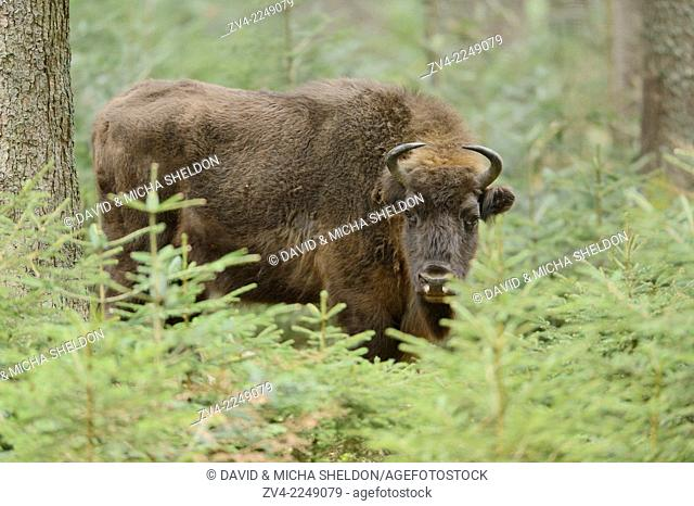 European bison (Bison bonasus) in a forest in spring