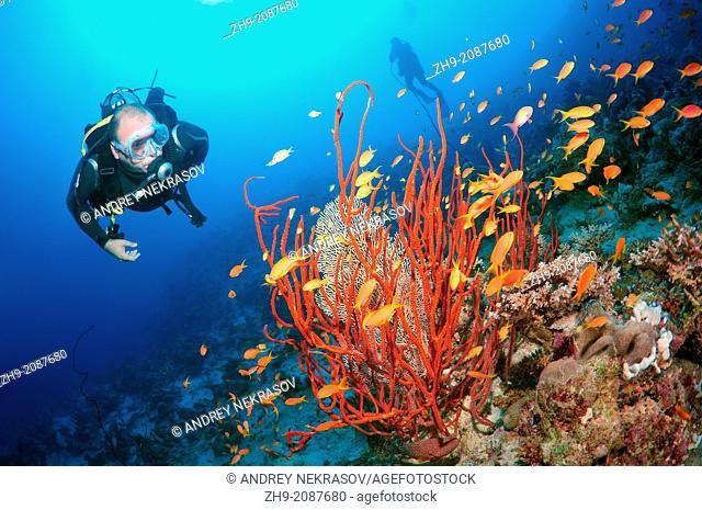 Diver looking at lyretail coralfish, lyretail anthias, sea goldie, or scalefin anthia (Pseudanthias squamipinnis),Red sea, Egypt, Africa