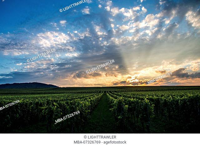Vineyard at the Moselle in sunset