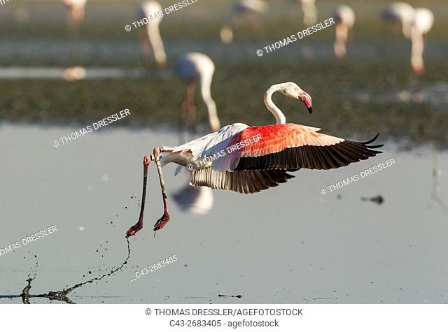 Greater Flamingo (Phoenicopterus roseus) - Taking flight at the Laguna de Fuente de Piedra near the town of Antequera. This is the largest natural lake in...