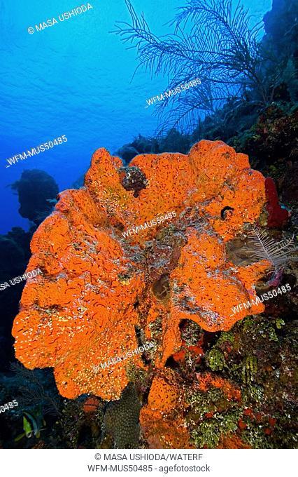Orange Elephant Ear Sponge, Agelas clathrodes, West End, Caribbean Sea, Bahamas