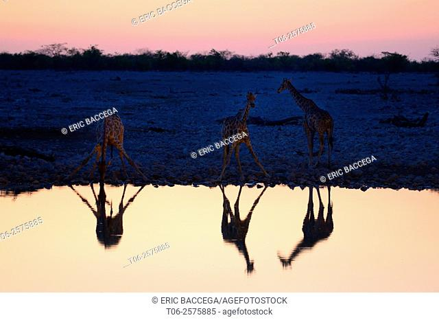 Angolan giraffes (Giraffa camelopardalis angolensis) reflecting at waterhole at sunset, Okaukuejo, Etosha National Park, Namibia, Africa