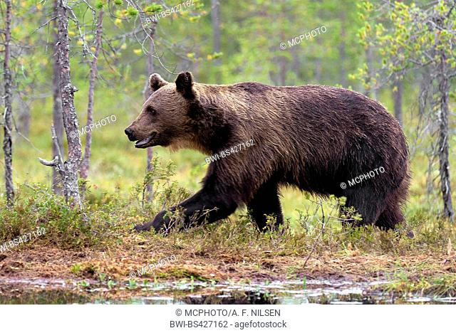 European brown bear (Ursus arctos arctos), adult male from the forests of eastern Finland , Finland