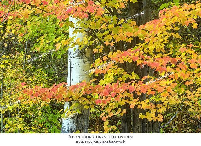 Autumn maple foliage and aspen tree trunk, Greater Sudbury, Ontario, Canada