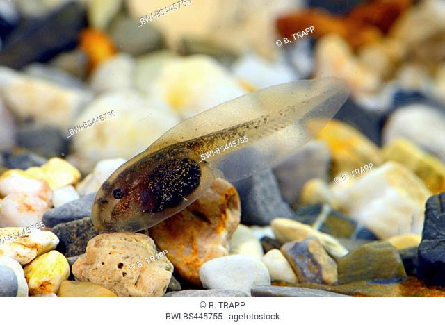Yunnan firebelly toad, Large-webbed bell toad (Bombina maxima), tadpole, China