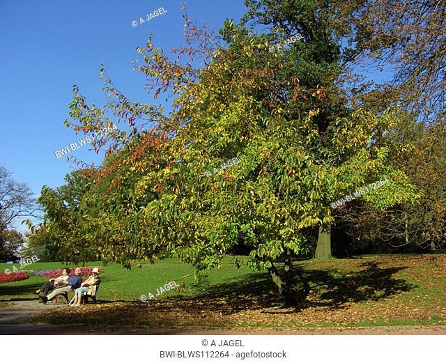 star magnolia Magnolia stellata, fruiting single tree in a park
