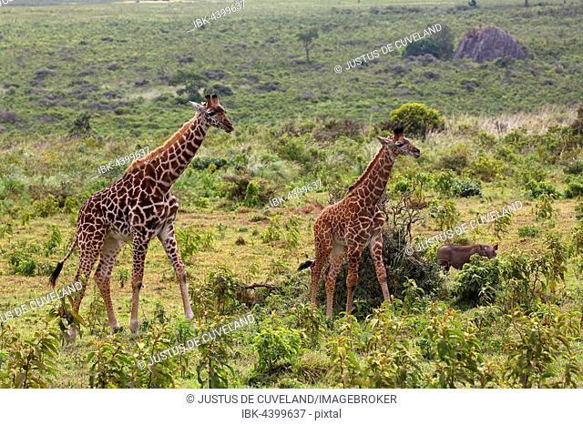 Maasai giraffe (Giraffa camelopardalis), Arusha National Park, Tanzania