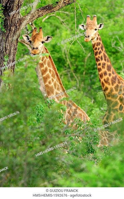 Swaziland, Lubombo district, Mbuluzi Game Reserve, giraffe (Giraffa camelopardalis)