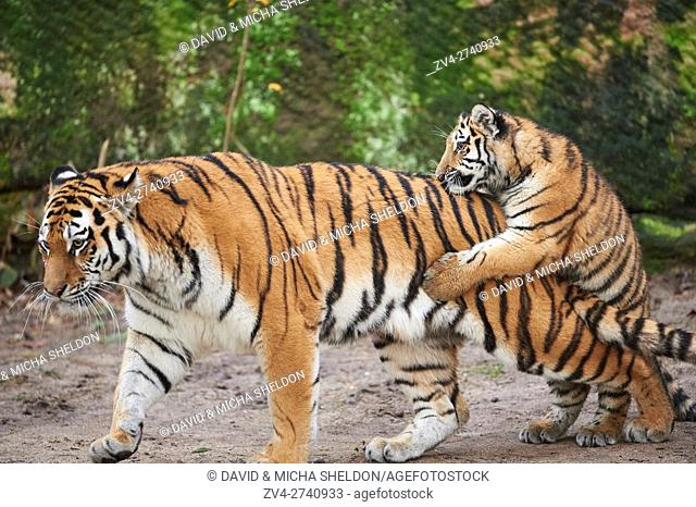 Close-up of a Siberian tiger (Panthera tigris altaica) mother with her youngster in winter