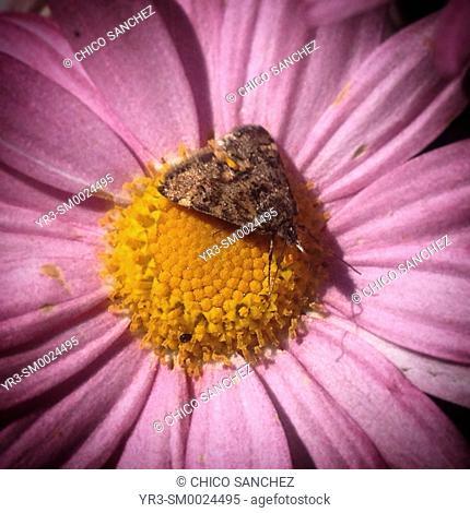 A moth perches on a pink daisy in Prado del Rey, Sierra de Cadiz, Andalusia, Spain